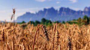 Landschap graan bergen focus